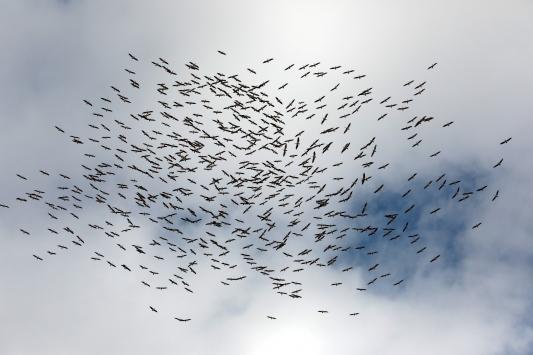 Kırklarelinde yüzlerce leyleğin göç yolculuğu