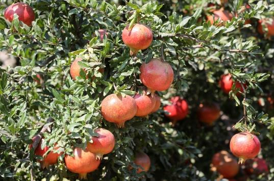İzmirde ihracatlık nar hasadı başladı