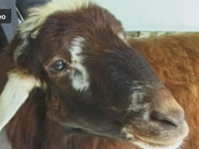 Bu Koyun Kendini Köpek Zannediyor