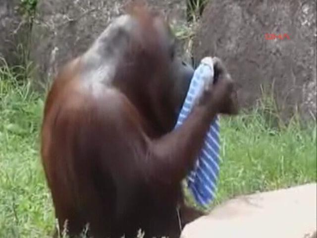 Orangutanın Serinleme Yöntemi İlgi Çekti