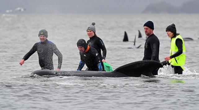 Avustralyada sığ sularda mahsur kalan balinaların 380i telef oldu