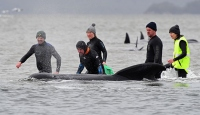 Avustralya'da sığ sularda mahsur kalan balinaların 380'i telef oldu