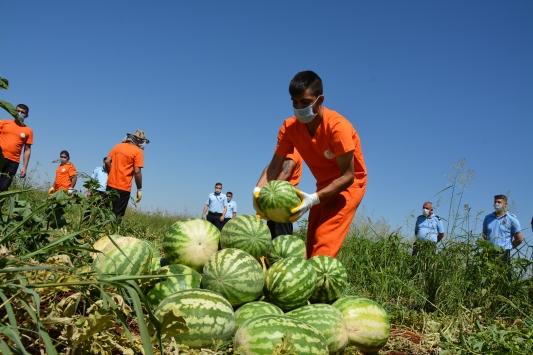 Şanlıurfada hükümlüler tarımsal üretime katkı sunuyor