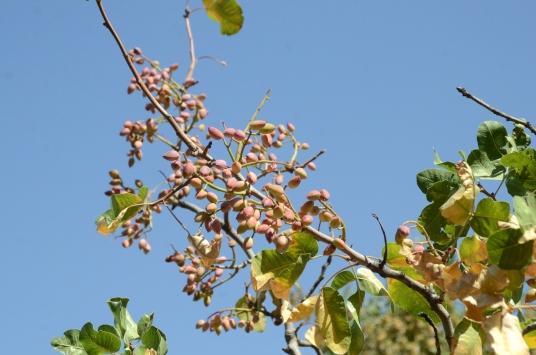Bitliste fıstık aşısı yapılan menengiç ağaçlarından 300 ton rekolte bekleniyor