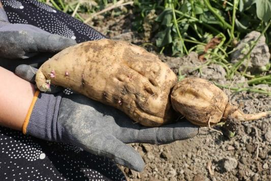 Boluda yetiştirilen tatlı patatesin hasadına başlandı