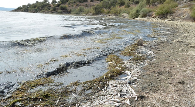 Bafa Gölünde yüzlerce balık kıyıya vurdu