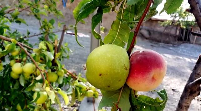 Bir ağaçta 2 farklı meyve yetişti