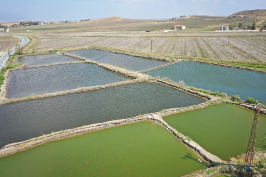 """Pamuk tarlalarının arasında """"süs balığı"""" yetiştiriyor"""