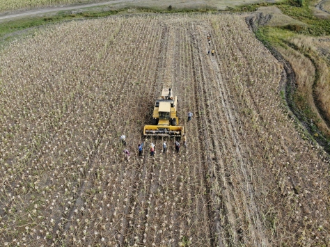 Ağrıda üretimi yaygınlaşan ayçiçeği bölge ekonomisine katkı sunuyor
