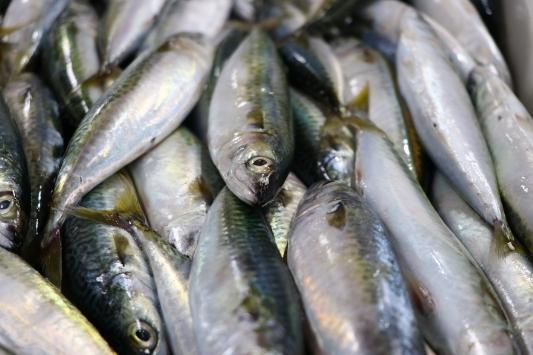 """Marmarada ağlara takılmaya başlayan """"uskumru"""" balıkçıları sevindirdi"""