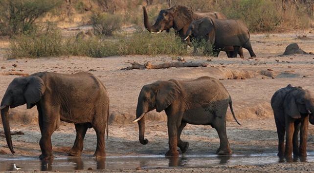 Zimbabvede filler gizemli bir hastalıktan ölüyor