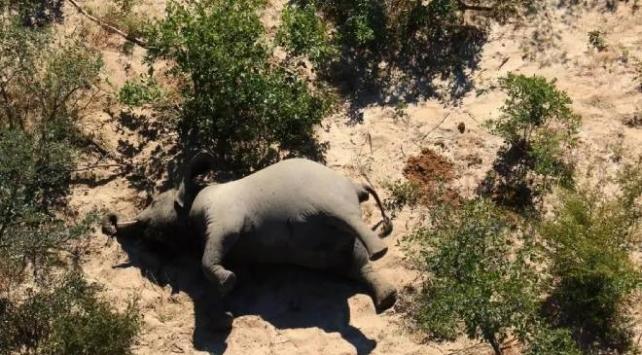 Güney Afrikadaki gizemli fil ölümlerinin nedeni ortaya çıktı