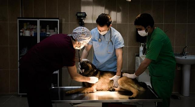 Trabzonda 2 bin 497 sahipsiz hayvan aşılandı