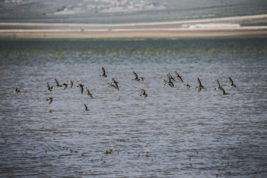Reyhanlı Barajında kuş türü sayısı 129a yükseldi