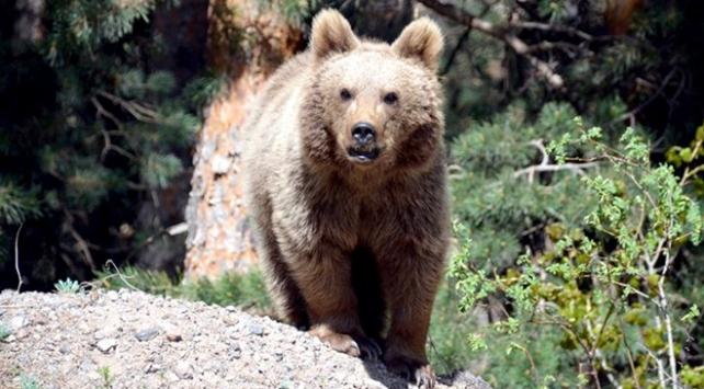 Tuncelide ağıla giren boz ayılar onlarca koyunu telef etti