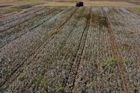Antalyada beyaza bürünen tarlalarda pamuk hasadı heyecanı
