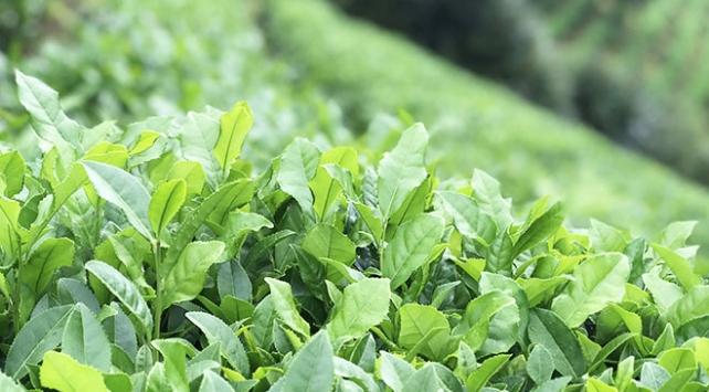 ÇAYKUR üreticiden 735 bin ton yaş çay aldı