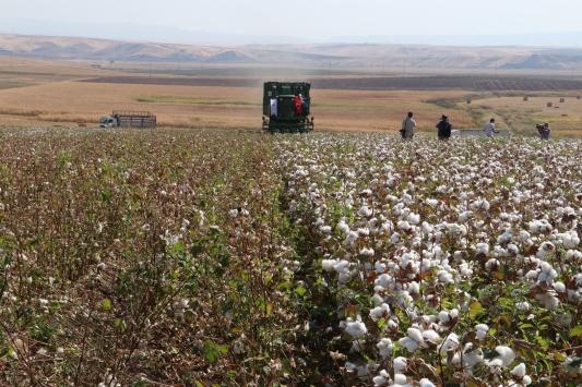 Diyarbakırda pamuk hasadına başlandı