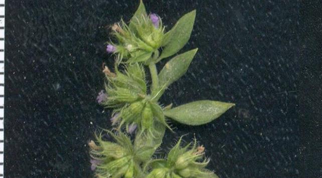 Türkiyede izine 150 yıldır rastlanmayan bitki türü Bingölde bulundu
