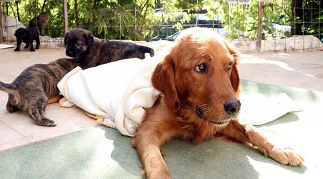Zehirlenen köpek yavrularıyla birlikte tedavi altına alındı