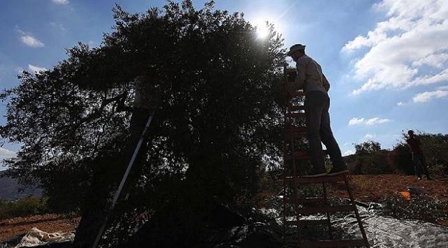 Yahudi yerleşimciler zeytin toplayan Filistinlilere saldırdı: 5 yaralı