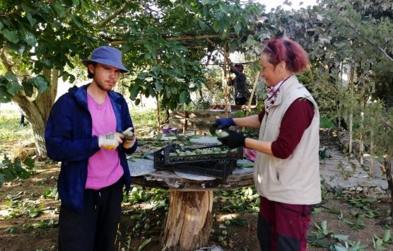 Kırşehirde organik tarım gönüllüsü yabancı turistler ceviz topladı