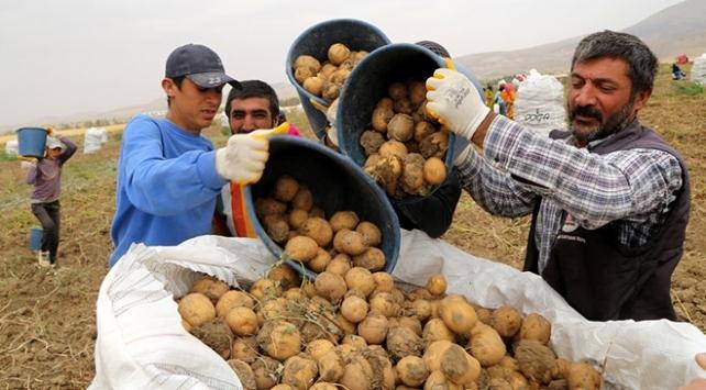 Sivasta 350 bin ton patates rekoltesi bekleniyor