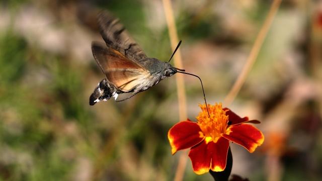 Atmaca güvesi hortumuyla çiçeklerdeki poleni çekiyor