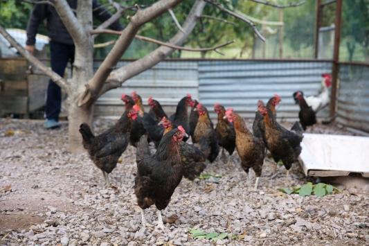 Kocaelide yüzde 50 hibeli tavuk desteği çiftçilerin yüzünü güldürdü