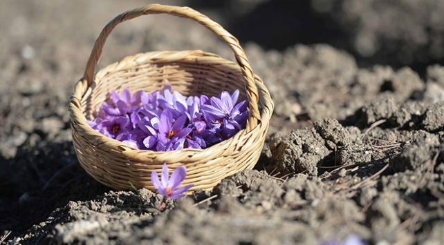 Mucize bitki safranın çiçek açma dönemi geldi