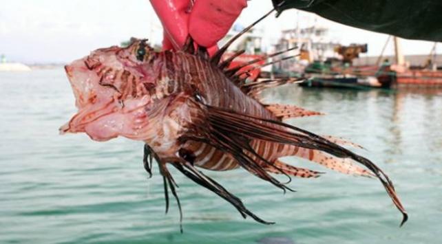 Aslan balığı zehrine karşı sıcak su tavsiyesi