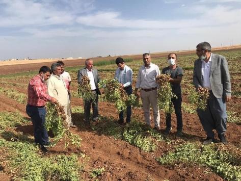 Viranşehir ilçesinde ilk kez ekilen yer fıstığının hasadı yapıldı