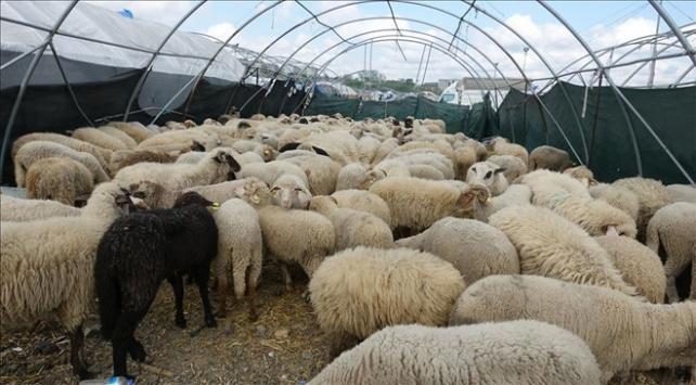Hayvancılık yatırımlarına ilişkin destek oranları belirlendi
