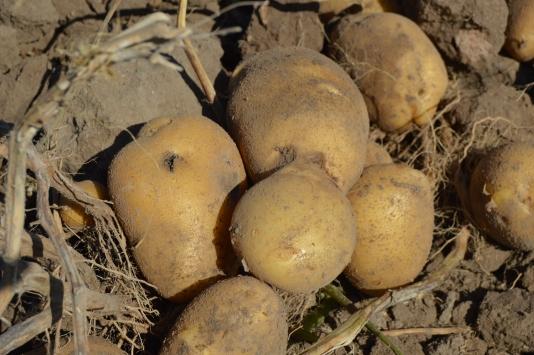 Afyonkarahisarda kışlık patates fiyatı üreticinin yüzünü güldürüyor