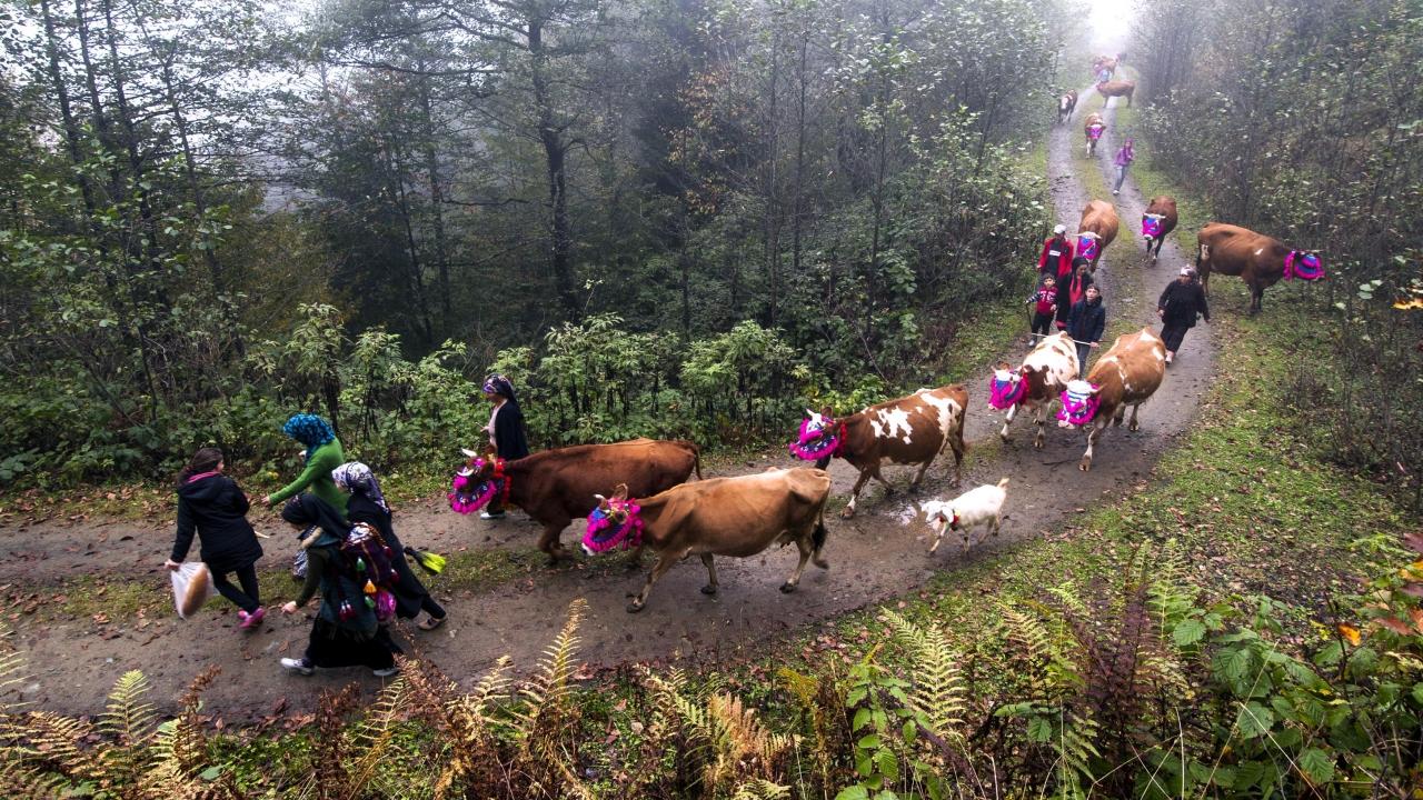 Trabzon`un Tonya ilçesine bağlı Kumanandoz Yaylası`nda süsledikleri hayvanlarıyla sabahın erken saatinde yola çıkan yaylacıların geri dönüş yolculuğu, renkli görüntüler oluşturdu.