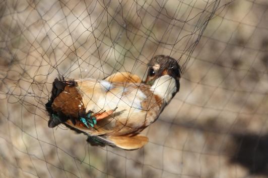 Antalyadaki Boğazkent Kuş Halkalama İstasyonunda kuşlar takibe alınıyor
