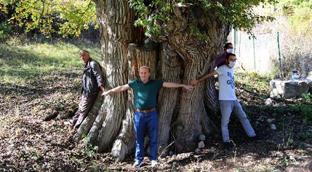 Artvinde 1500-2 bin yıllık armut ağacı tespit edildi