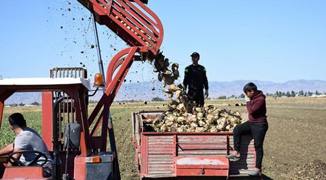 Muşta şeker pancarından 450 milyon lira gelir bekleniyor