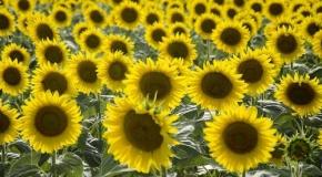 Mercimek ve yağlık ayçiçeği tohumunda gümrük vergileri düşürüldü