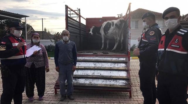 Jandarma, çalınan ineği sahibine teslim etti