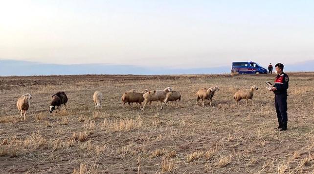 Kaybolan 30 koyun drone yardımıyla bulundu