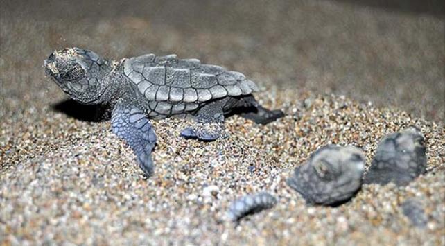 Deniz kaplumbağaları göç yolculuğunu sürdürüyor