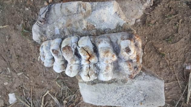 Çanakkalede 8-9 milyon yıllık fil fosili bulundu