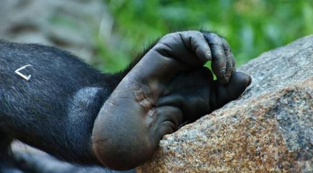 Myanmarda nesli tükenme tehdidinde olan yeni bir primat türü keşfedildi