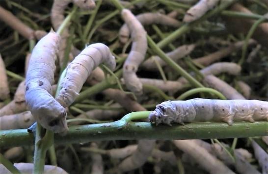 Bilecikte ipek böceğinin 45 günlük dönüşümü kayıt altına alındı