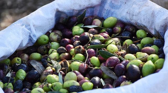 Marmariste zeytin hasadı başladı