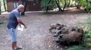 Sahile inen domuz sürüsünü elleriyle besledi