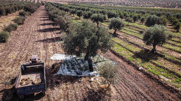 İdlibin geçim kaynağı zeytinin hasadı, artan masrafların gölgesinde başladı
