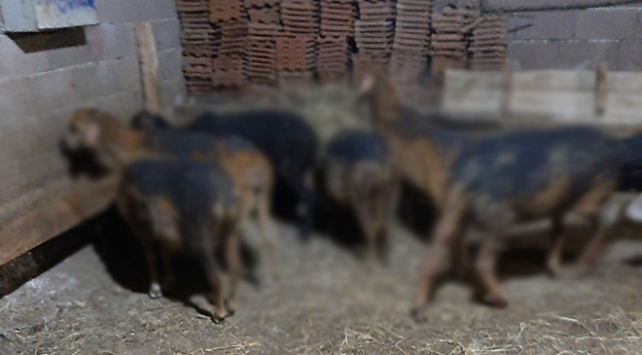 Kütahyada ahırda yangın: 70 hayvan telef oldu