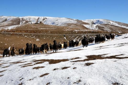 Muşta yüksek kesimlere kar yağınca besiciler hayvanlarını ovaya indirdi